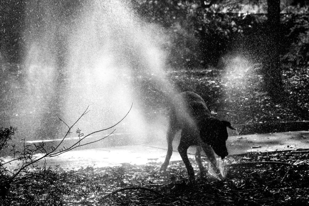 Jed Rhodesian Ridgeback Broome