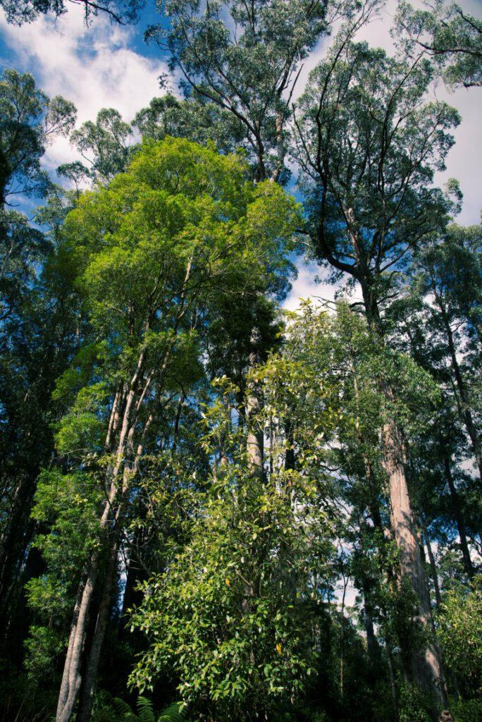 Acacia nera nella foresta Tarkine