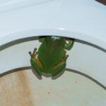 Una rana nel gabinetto