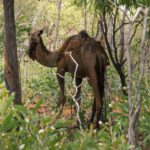 cammello giardino
